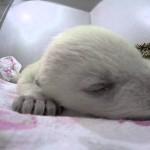 Aranyos videó egy álmodó és viccesen horkoló apró jegesmedvebocsról