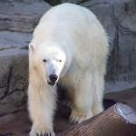 Beugrott a jegesmedvék közé egy férfi a koppenhágai állatkertben