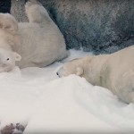 26 tonna havat kaptak a jegesmedvék karácsonyi ajándékba