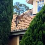 Kenguru ragadt egy tetőn Ausztráliában