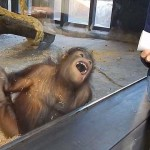 Fergeteges nevetésben tört ki az orangután egy bűvésztrükk bemutatása után (videó)