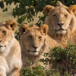 Oroszlánokat mérgeztek meg a Masai Mara rezervátumban