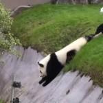 Egy játékos pandakölyök alaposan lefárasztotta a gondozóját