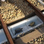 Vasúti átjárókat készítettek a teknősöknek Japánban