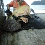Piacon árult tengeri teknősöket vásárolnak, hogy visszaengedjék őket az óceánba