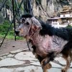 A bhutáni hegyvidéken találtak rá megmentői egy szinte teljesen megkopaszodott kutyára