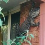 Másfél méteres varánusz mászott fel egy ház falára