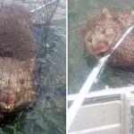 Vombatot mentettek ki egy tóból ausztrál horgászok