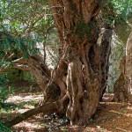 3000 év után nemet váltott Európa legöregebb fája