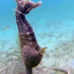 Ritka felvétel – így hozza világra utódait egy hím csikóhal