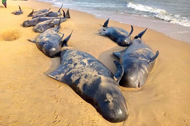 Manapad, 2016. január 12. Partra vetődött rövidszárnyú gömbölyűfejű-delfinek tetemei a dél-indiai Tamil Nadu államban fekvő Manapad tengerpartján 2016. január 12-én. Több mint nyolcvan rövidszárnyú gömbölyűfejű-delfin vetődött partra, illetve rekedt a sekély öblök vizeiben a halászfalu környékén. (MTI/EPA)