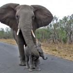 """""""Ne állj szóba idegenekkel"""" – így óvja borját az emberektől az elefántmama"""