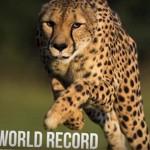 Elaltatták a világ leggyorsabb szárazföldi emlősét