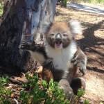 Hisztirohamot kapott a fáról lezavart koala