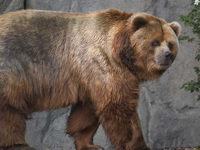 kodiak-medve