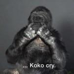 Koko, a beszélő gorilla üzenete az emberiségnek