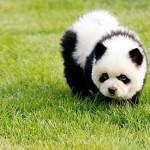Szőrmők kutyák, akik úgy néznek ki mint a medvebocsok