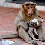 Különös páros – kiskutyát vett gondozásába egy majom Indiában