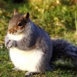 Elhíztak a mókusok az enyhe tél miatt