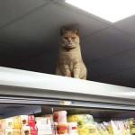 Egy morcos macska figyeli a vásárlókat egy londoni boltban