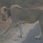 Turisták hívtak segítséget egy csapda miatt súlyosan megsérült oroszlánhoz