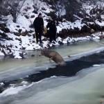 Rendőrök mentették meg a fagyos folyóba esett szarvast [videó]