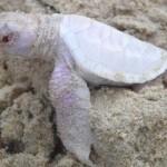 Igen ritka albínó teknőst láttak Ausztráliában