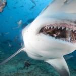 A cápatámadások rekordéve volt 2015