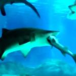 Látogatók előtt falta fel egy kisebb fajtársát egy homoki tigriscápa [videó]