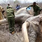 Elsétáltak az állatvédőkhöz a mérgezett nyíllal meglőtt elefántok, hogy segítséget kérjenek