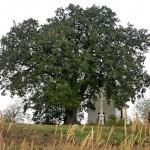 Már lehet szavazni a bátaszéki tölgyre Az év európai fája versenyben