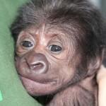 Már jól van a császármetszéssel született gorillabébi