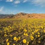 Virágtenger borítja a Halál-völgyet, a Föld egyik legszárazabb területét