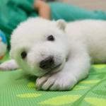 Ilyen szépen cseperedik az aranyos jegesmedvebocs, akit gondozói nevelnek – videó