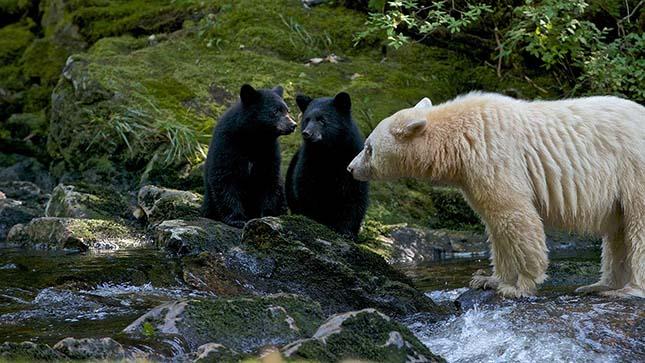 medve-csalad