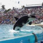 Beszüntetik a delfintenyésztést és a showműsorokat a SeaWorld-delfináriumok