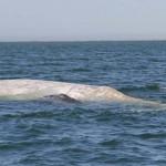 Öt év után ismét felbukkant a ritka albínó szürke bálna