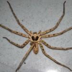Halálos mérgű pókot találtak a banánok között