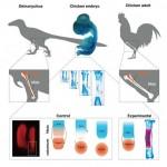 A dinoszauruszokéhoz hasonló lábat növesztettek csirkeembrión chilei kutatók
