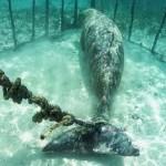 Ritka tengeri élőlényeket tartott ketrecekbe zárva, kikötözve egy indonéz halász