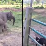 Minden kezdet nehéz – ez történt amikor a kiselefánt először találkozott kecskével