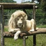 Lelőttek egy fehér oroszlánt egy kanadai állatkertben