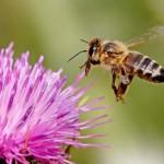 Ötvenhét különböző rovarirtó szert azonosítottak európai házi méhek szervezetében