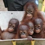 Reménykeltő hír: az eddig véltnél legalább kétszer több szumátrai orángután élhet