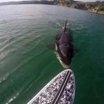 Elképesztő találkozás egy kíváncsi kardszárnyú delfinnel