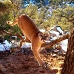 Így szabadították ki a csapdába ragadt, rémült pumát