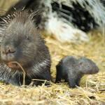 Tarajos sül született a Nyíregyházi Állatparkban