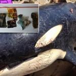 Szeméttel volt teli egy elpusztult gyilkos bálna gyomra