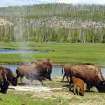 Szabadon kóborolhatnak a Yellowstone bölényei