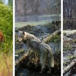 Ritka állatfajok népesítik be Csernobil térségét